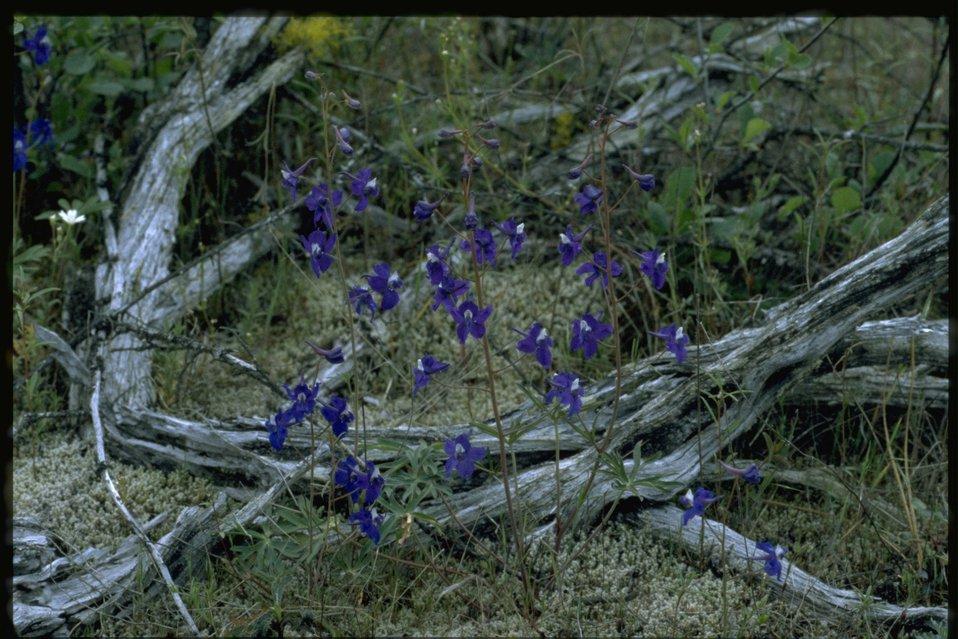 Farshot of Delphinium wildflowers.