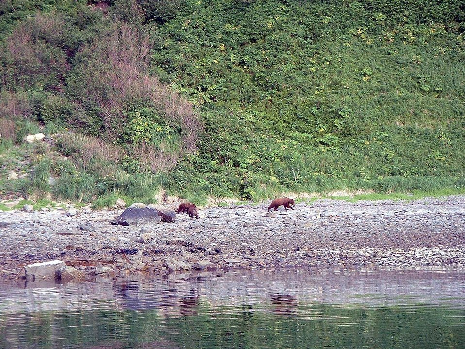 Mama bear with two cubs - Alaska brown bears - Ursus arctos.