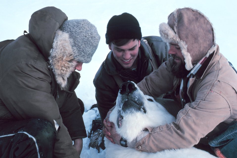 Preparing to pull tooth of large sedated polar bear  - Ursus maritimus. Bears were measured and tagged for future study. Teeth were pulled to study age and general health of bears.