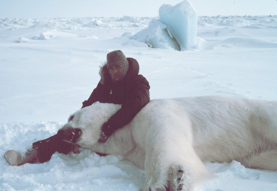 Steve Amstrup of USFWS with large sedated polar bear  - Ursus maritimus. Bears were measured and tagged for future study.  This sedated male was ready for the WWF with a 45 inch neck and weighing about 1400 pounds.