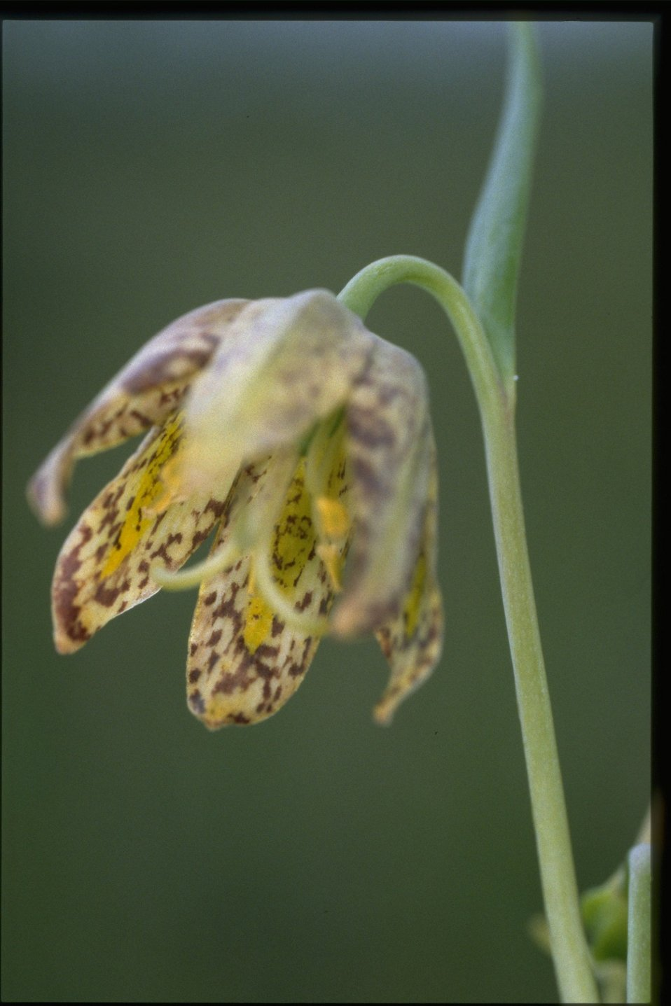 Closeup shot of Fritilaria affine.