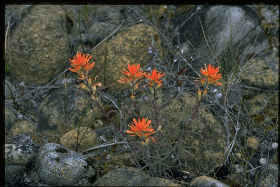 Medium shot of Castilleja.