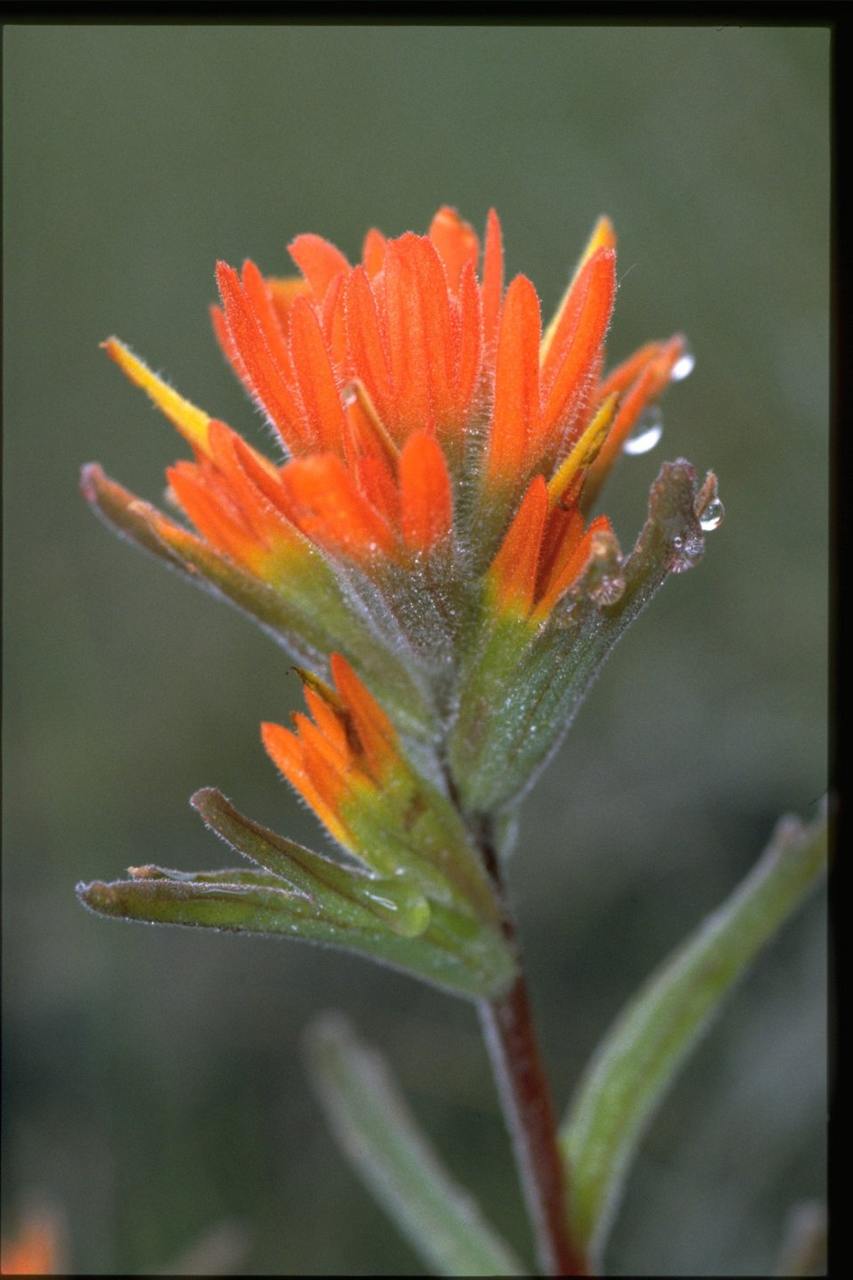 Closeup shot of Castilleja.