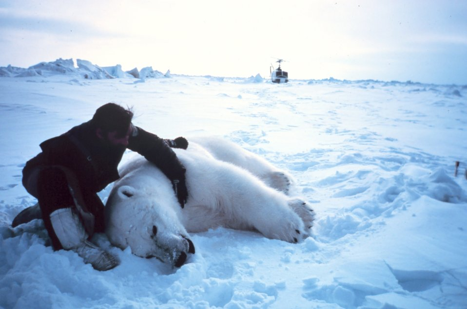 Helicopter pilot Budd Christman with large sedated male polar bear  - Ursus maritimus.  Bears were measured and tagged for future study. Outer Continental Shelf Environmental Assessment Program (OCSEAP) studies.