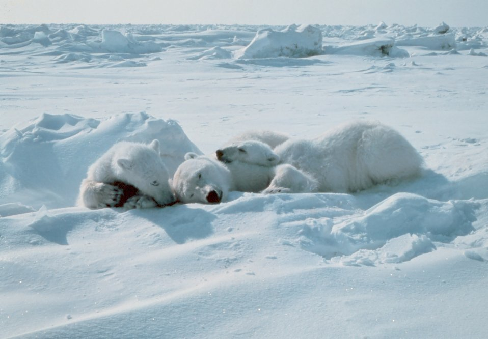 Cubs stay with sedated polar bear  - Ursus maritimus - mother during Outer Continental Shelf Environmental Assessment Program studies.