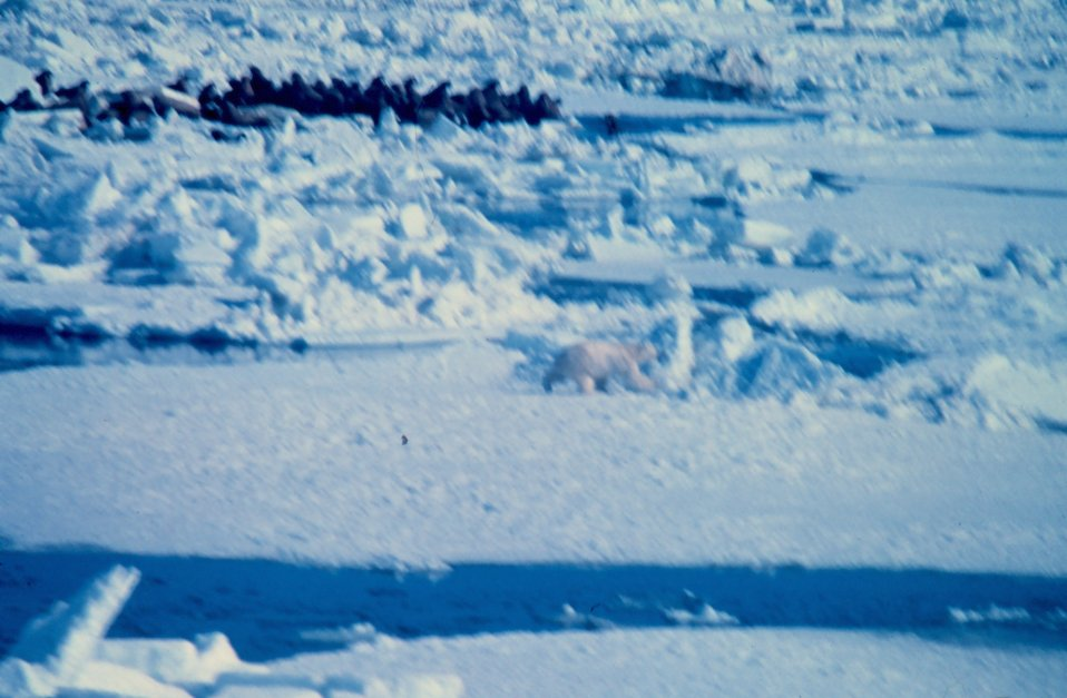Polar bear  - Ursus maritimus - hunting near large group of walrus. Polar bear normally won't attack walrus unless walrus is sick or very young.