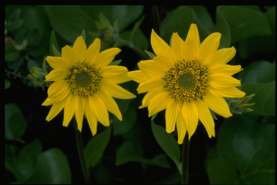 Closeup shot of wildflowers (genus Balsamorhiza).