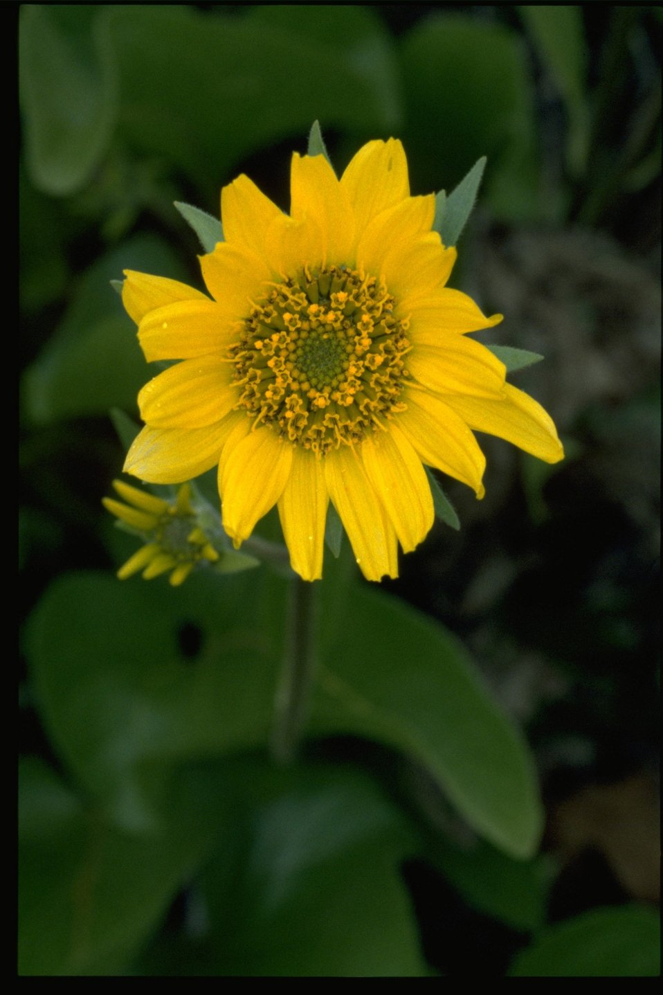 Closeup shot of wildflower (genus Balsamorhiza).