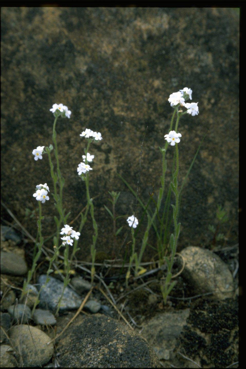 Farshot of Plagiobothrys.