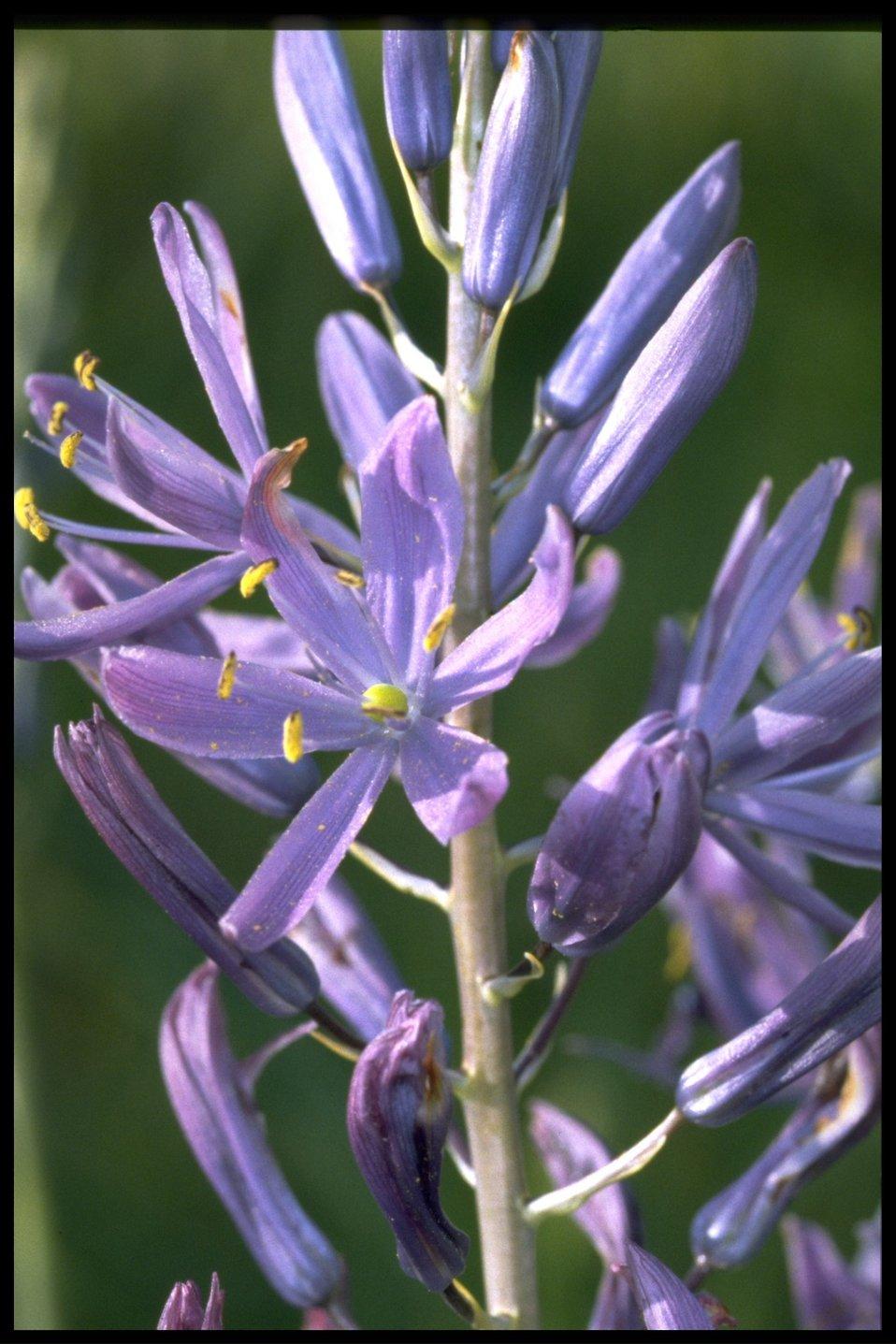 Closeup shot of Camassia quamash.