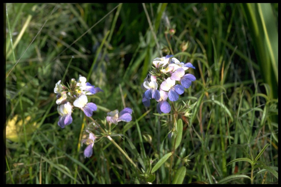 Medium shot of Collinsia grandiflora.