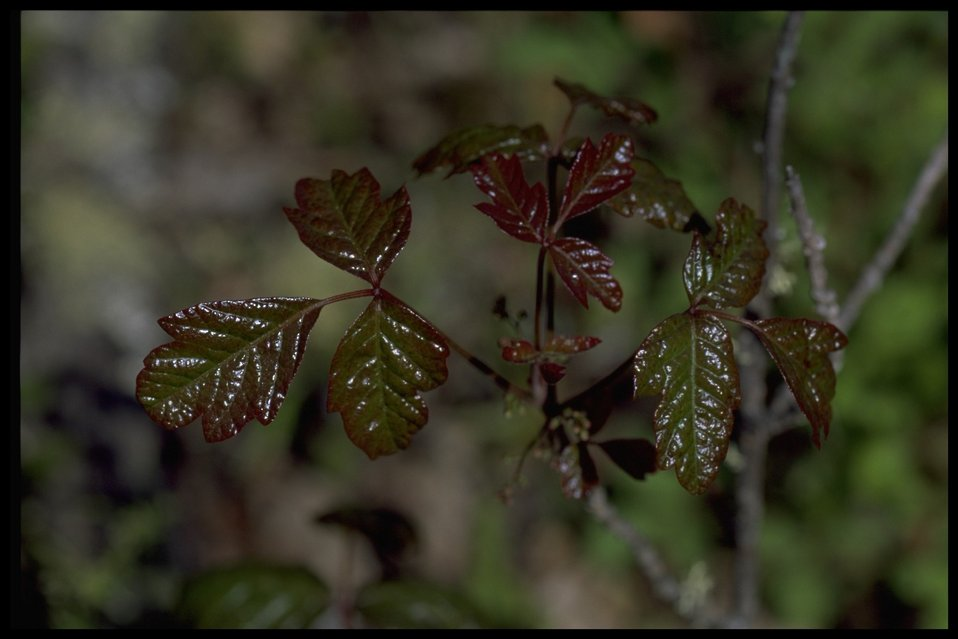 Medium shot of Toxicodendron diversilobum.