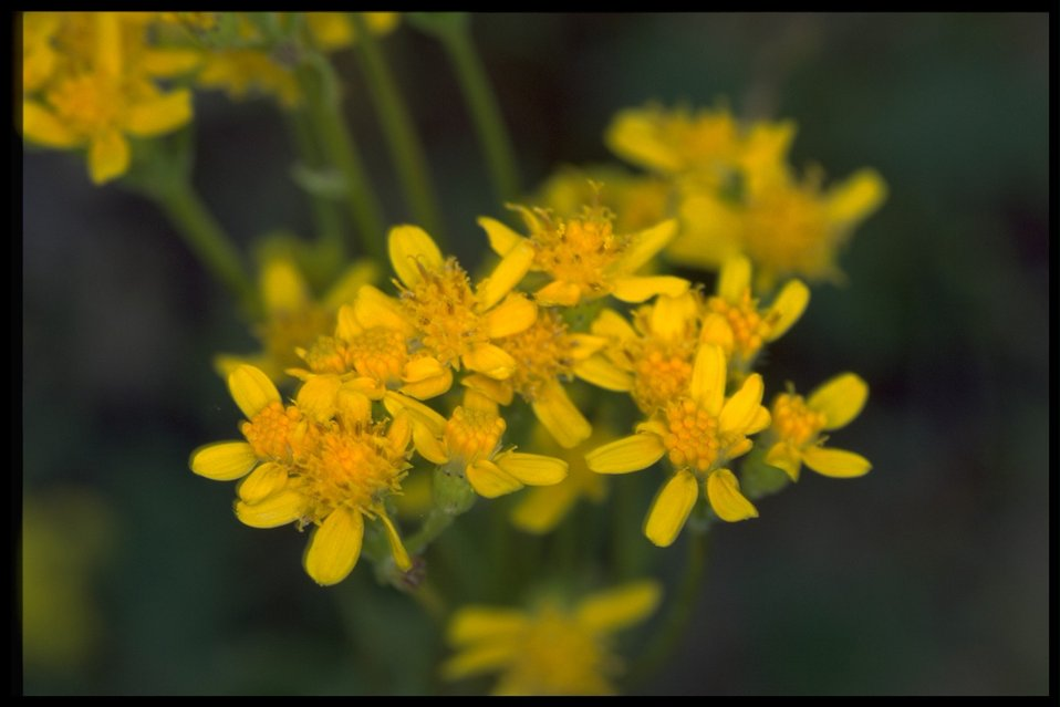 Closeup shot of Senecio integerimus.