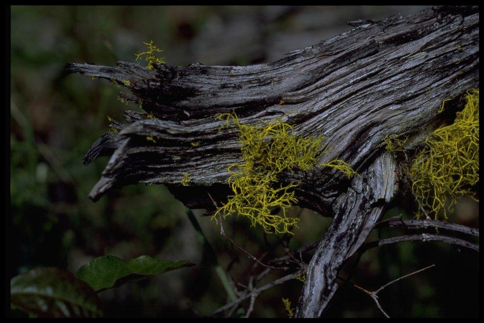 Lichen Latheria vulpina.