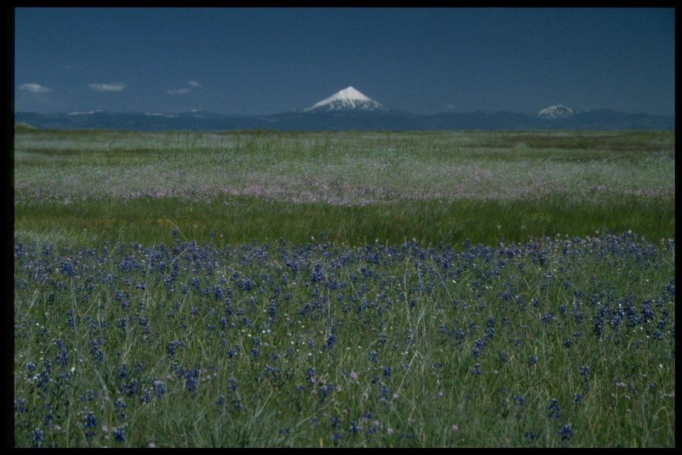Scenic view of Mt. McLoughlin, Plectris congesta, Lupinus bicolor.