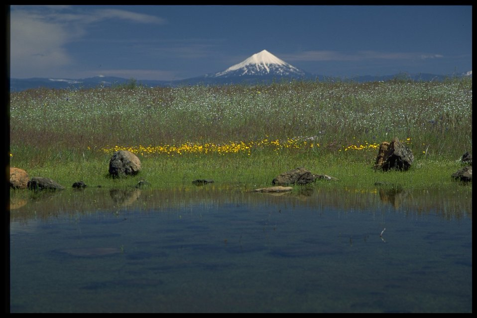 Scenic view of Mt. McLoughlin, vernal pools, Lasthenia californica, Plagiobothrys fulvus, Dichelostemma, and Amsincka intermedia.