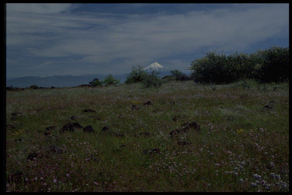 Rocky meadow with view of Mt. McLoughlin in backbround. Wildflowers in foreground: Plectris congesta, Collinsia grandiflora, Ceanothus cunetatus, Lasthenia californica.