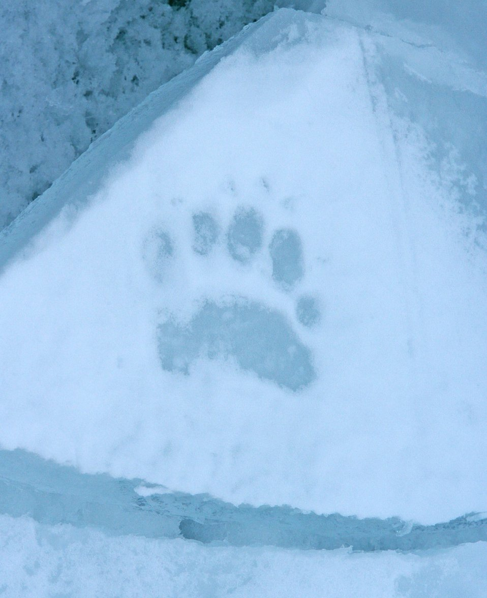Polar bear (Ursus maritimus) tracks. See: http://www.naturalsciences.org/education/arctic/