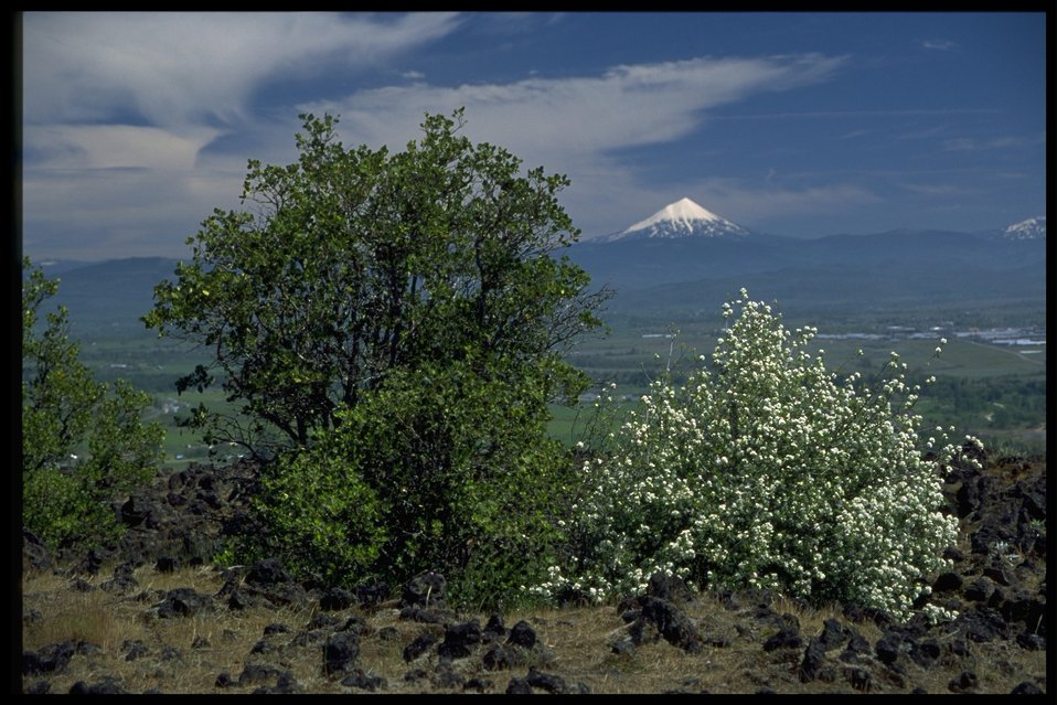 Farshot of service berry, Amelanchier alnifolia.