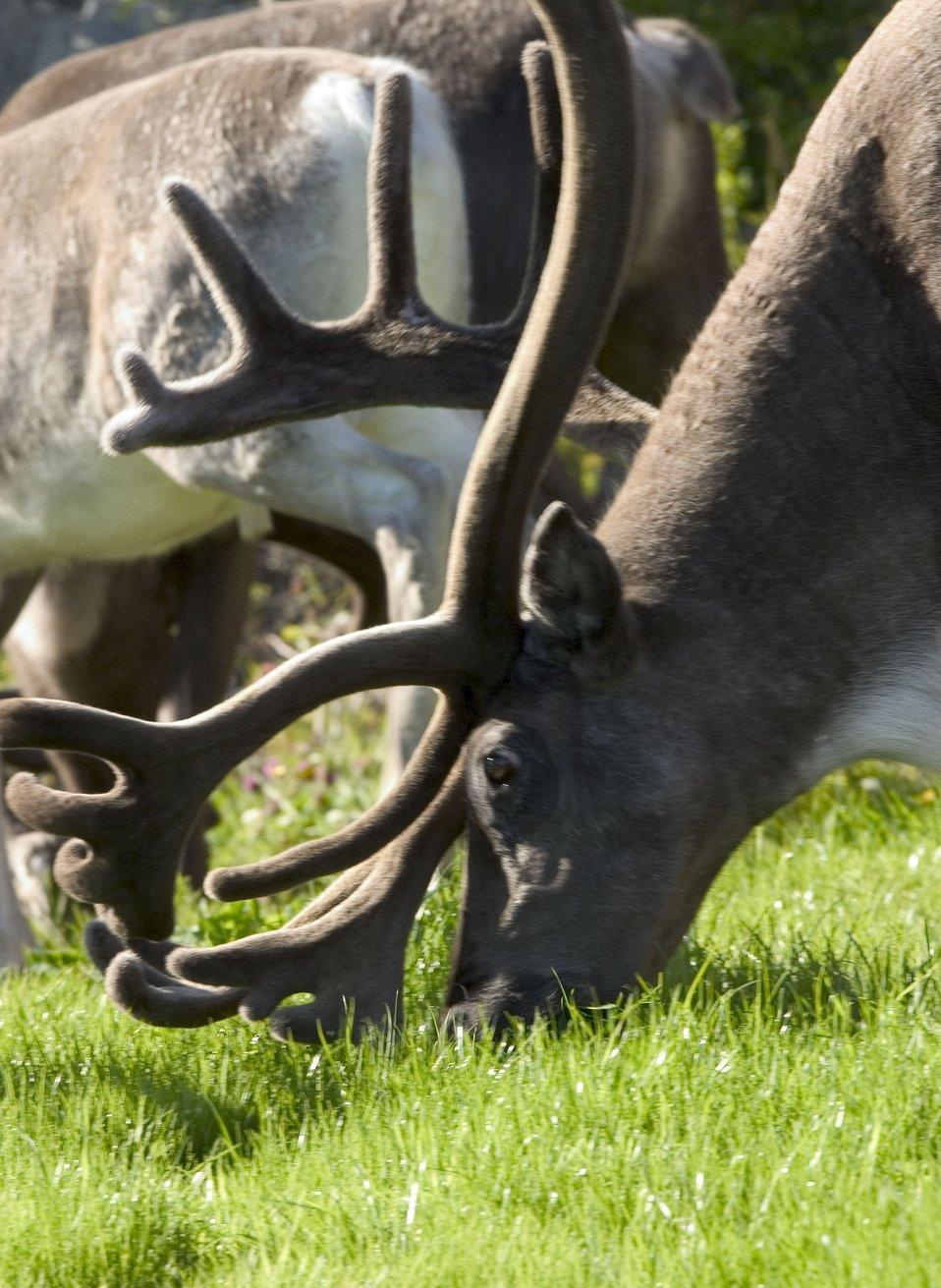 Reindeer at Kirkenes. See: http://www.naturalsciences.org/education/arctic/