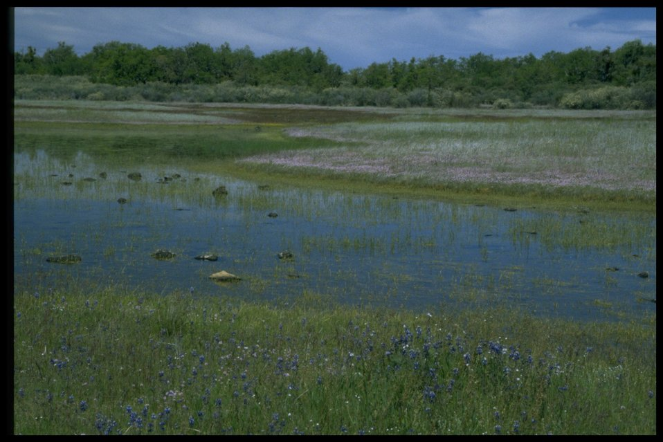 Scenic view of vernal pool, Plagiobothrys, Lupine, Plectritis congesta, Lasthenia californica.