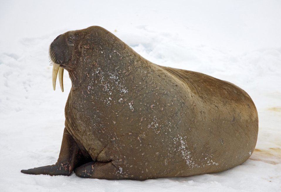 Walrus (Odobenus rosmarus rosmarus) hauled out on the ice. See: http://www.naturalsciences.org/education/arctic/