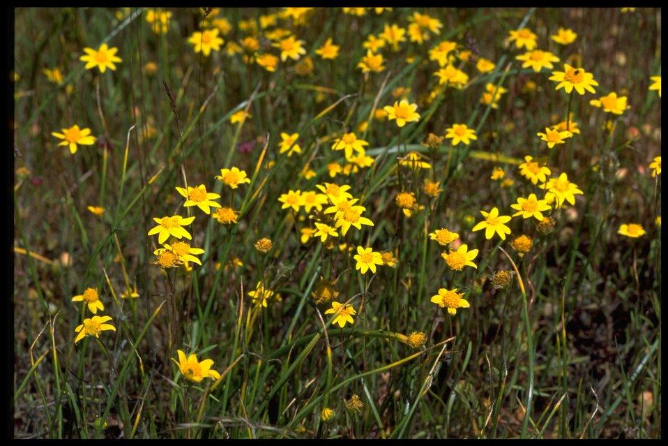 Farshot of Lasthenia californica.