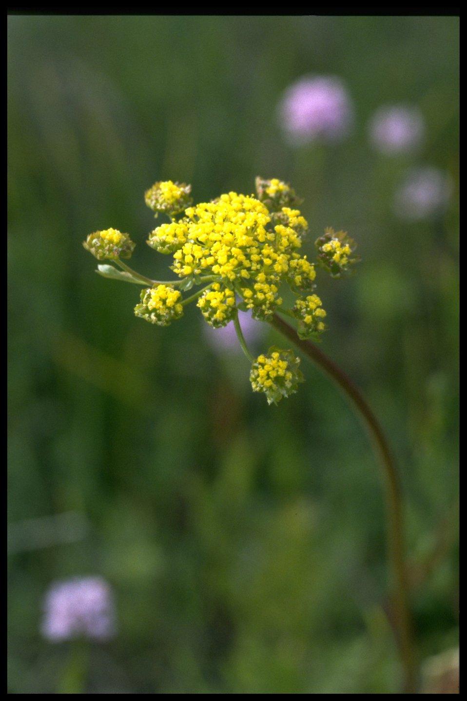 Closeup shot of Lomatium ultriculatum.