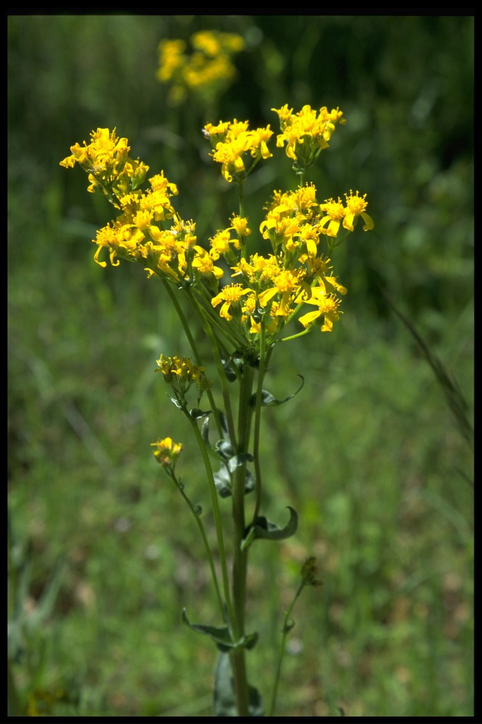 Medium shot of Senecio intefermis.