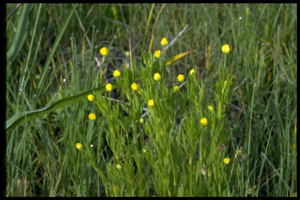 Medium shot of Ranunculus sp.