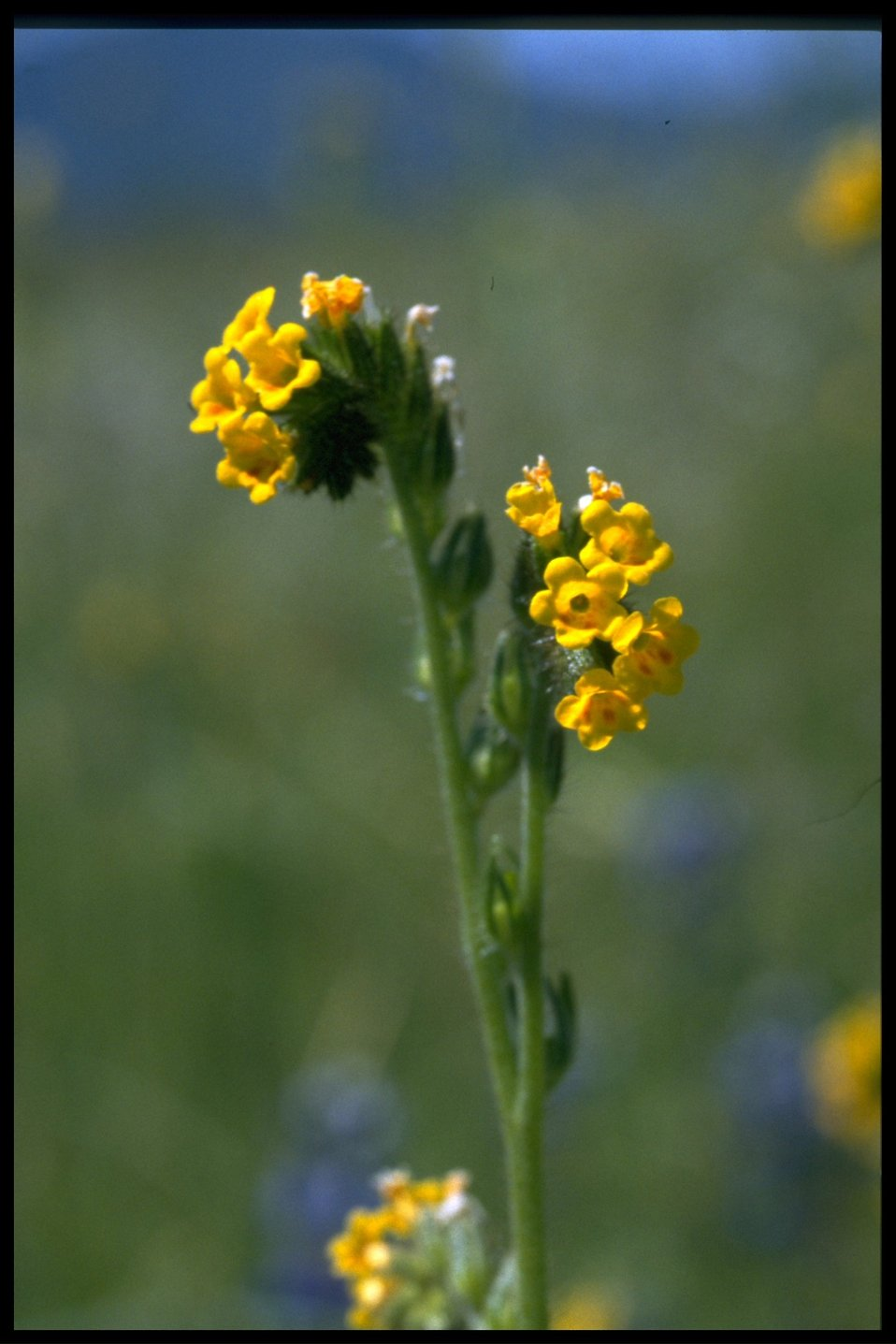 Medium shot of Amsinckia intermedia, Amsinckia menziesii var intermedie.