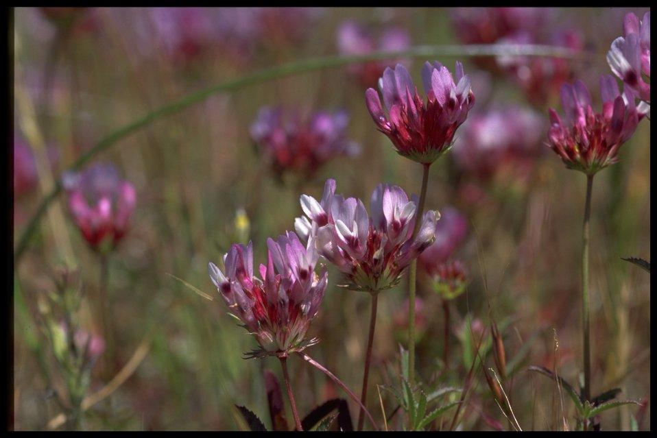 Closeup shot of Trifolium depauperatum.