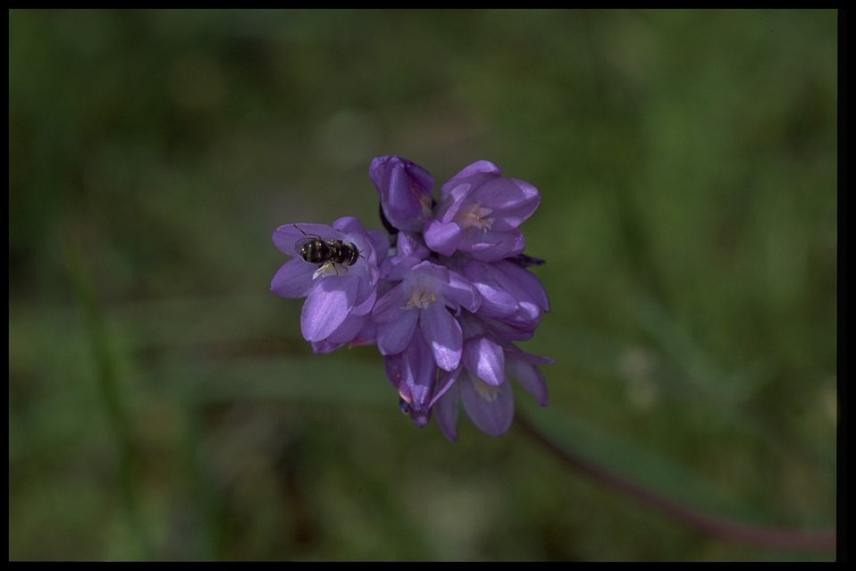 Medium shot of Dichelostemma capitatum.