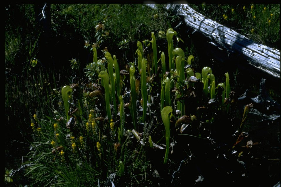Medium shot of Cobra Lily, Darlingtonia californica.