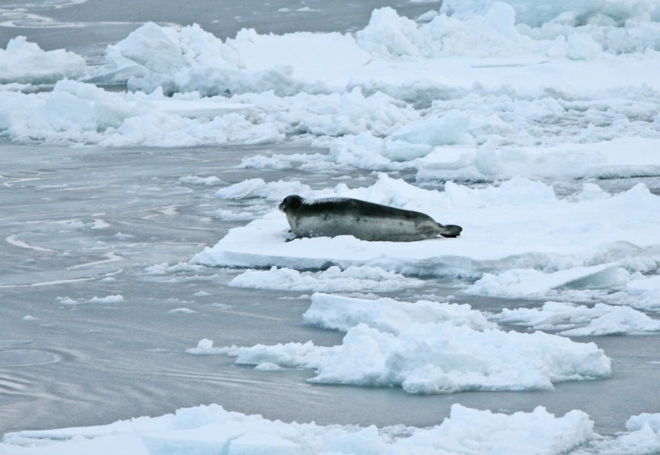 A bearded seal (Erignathus barbatus) on the ice. Bearded seals are the largest of Arctic seals and are named for their bushy whiskers which form a sensory moustache. See: http://www.naturalsciences.org/education/arctic/