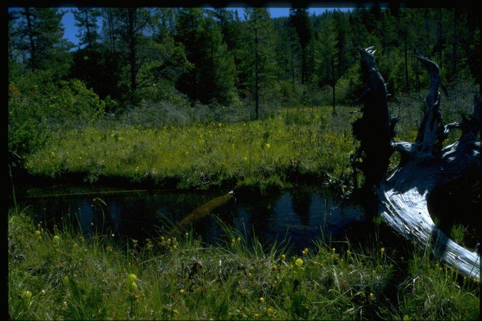 General view of Hunter Creek Bog, Northecium californicum, Darlingtonia californica (Cobra Lily).