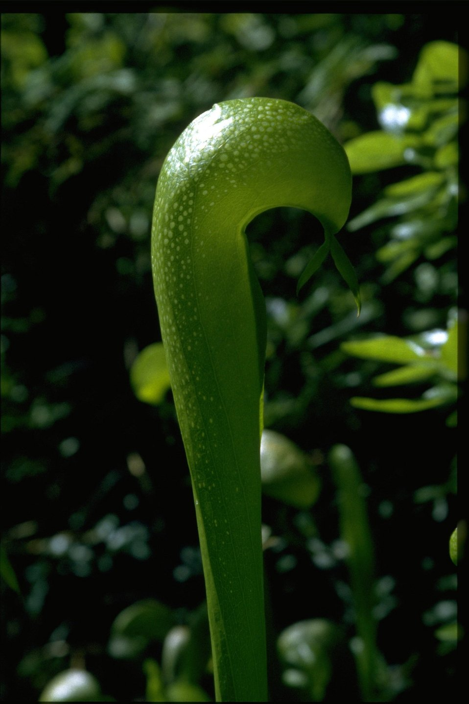 Closeup shot of Darlingtonia californica.