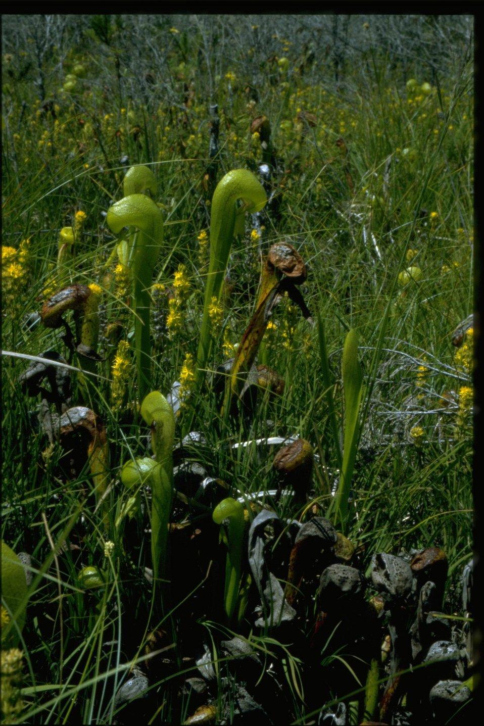 Medium shot of Cobra Lily, Darlingtonia californica.