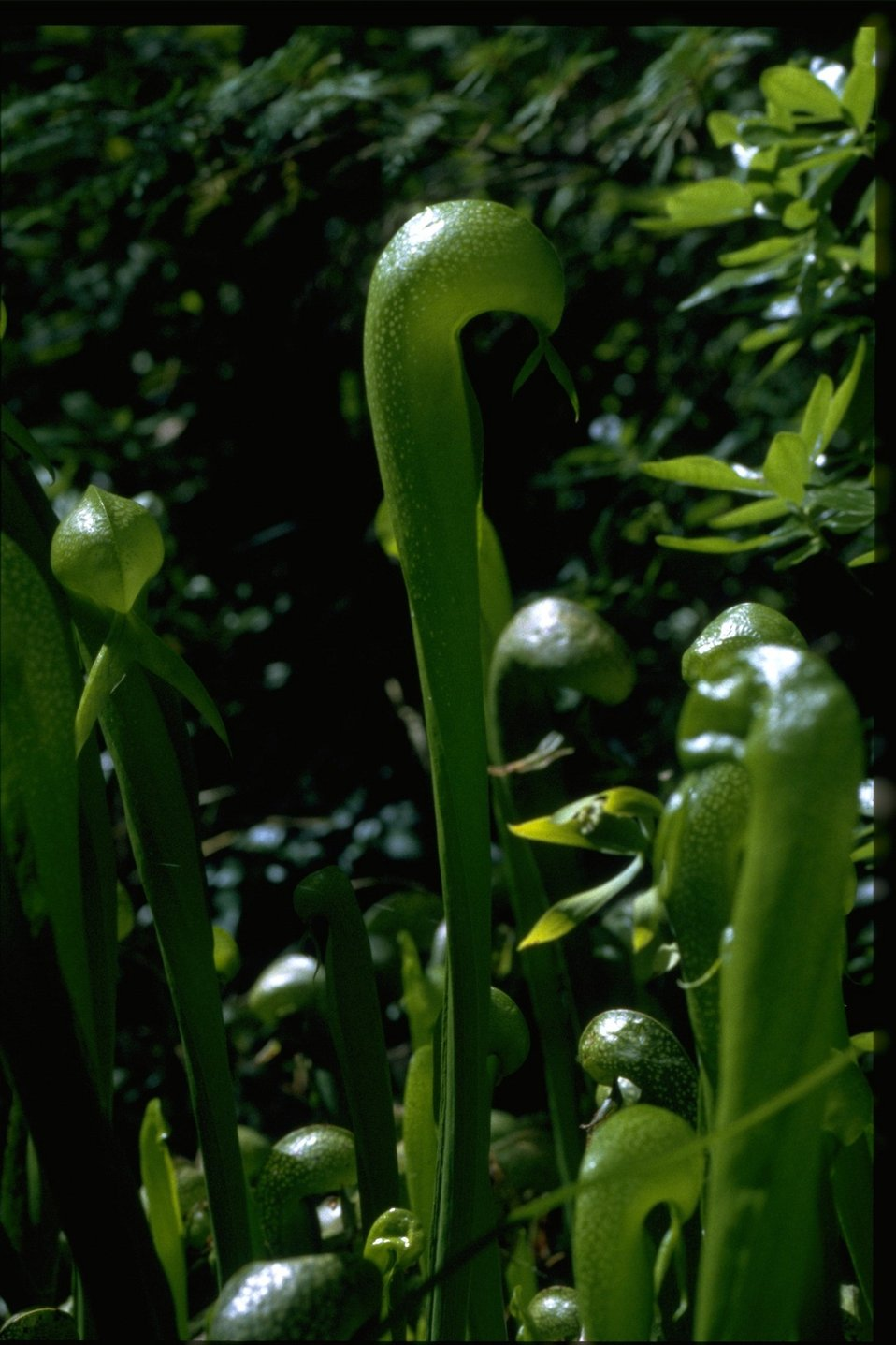 Closeup shot of Cobra Lily, Darlingtonia californica.