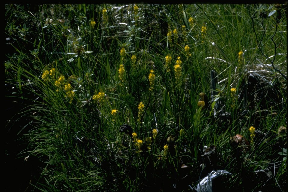 Farshot of Northecium californicum.
