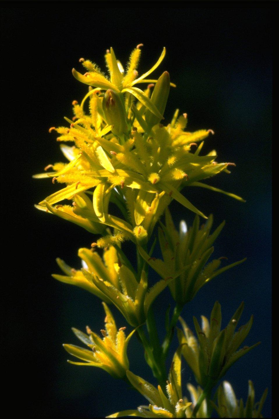 Closeup shot of Northecium californicum.
