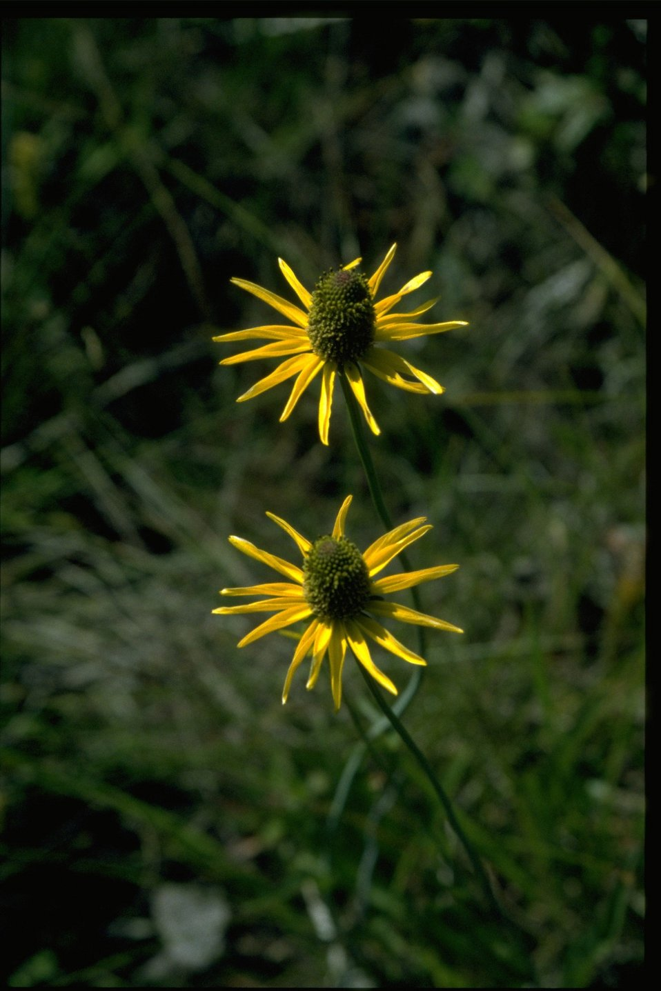 Closeup shot of Rudbeckia californica var gluca.