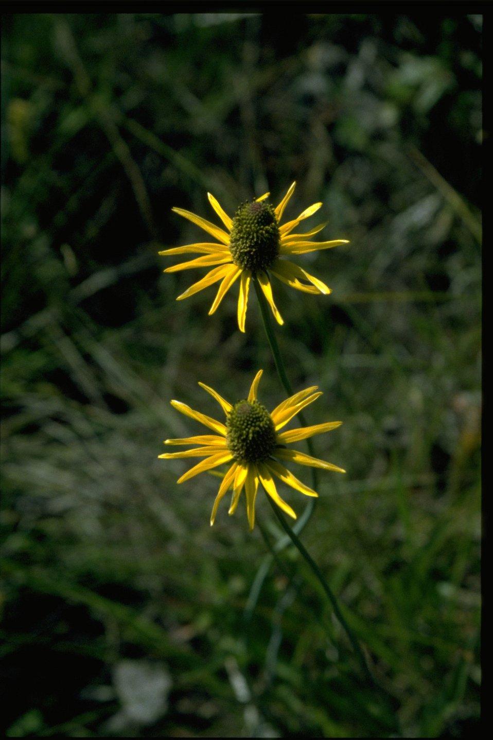 Closeup shot of Rudbeckia californica var gluca.