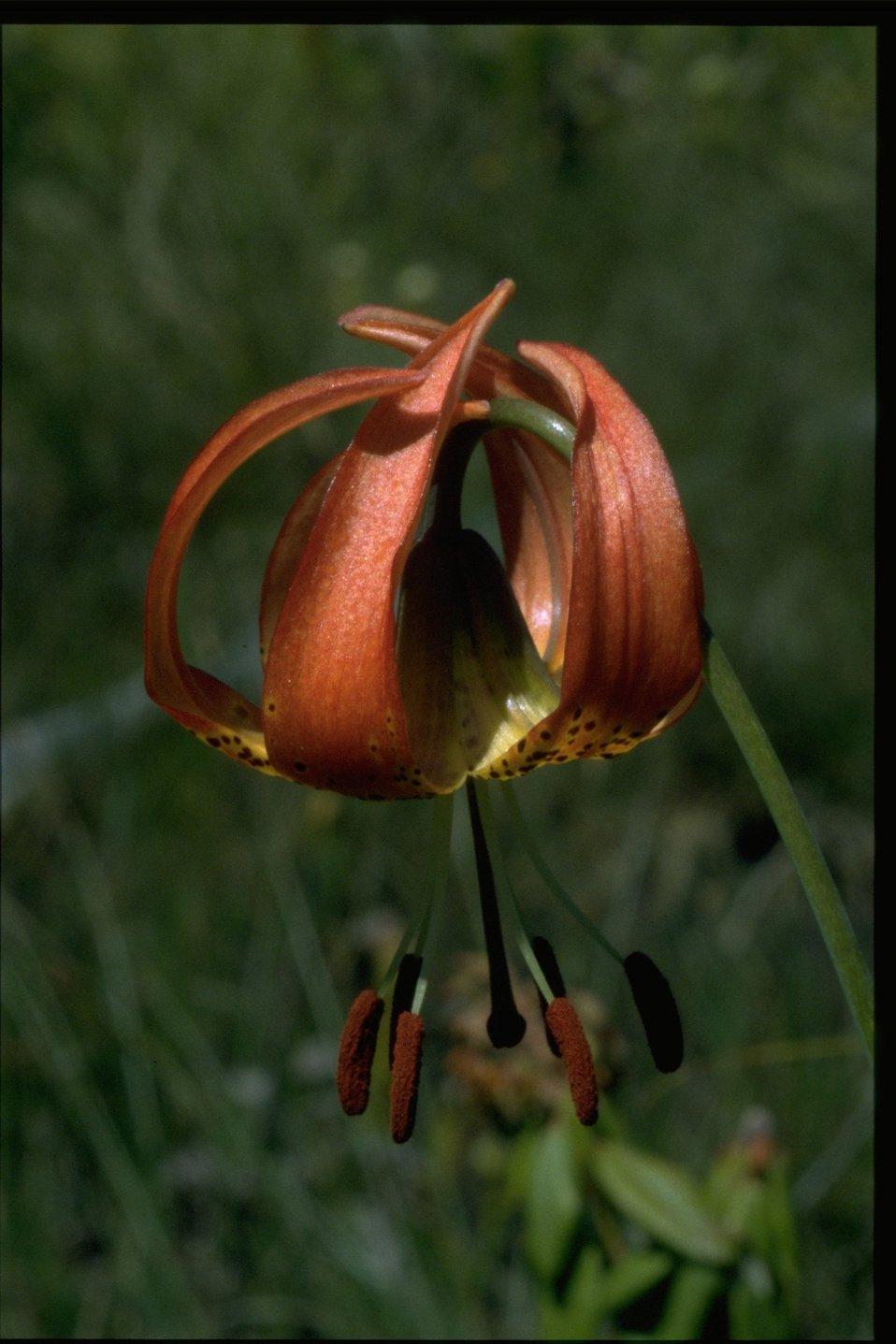 Closeup shot of Lilium pardalinum var vollmeri.