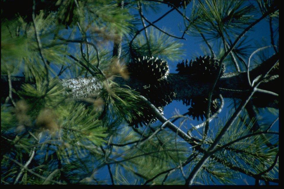 Medium shot of Knobcone Pine, Pinus attenuata.