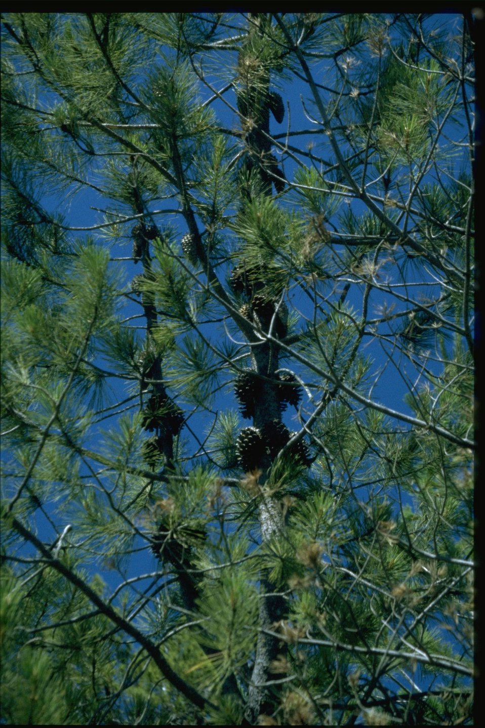 Medium shot of Knobcone Pine, Pinus attenuata.