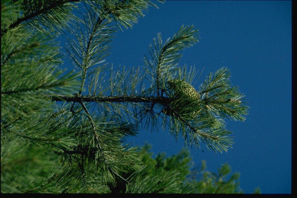 Farshot of Knobcone Pine, Pinus attenuata.