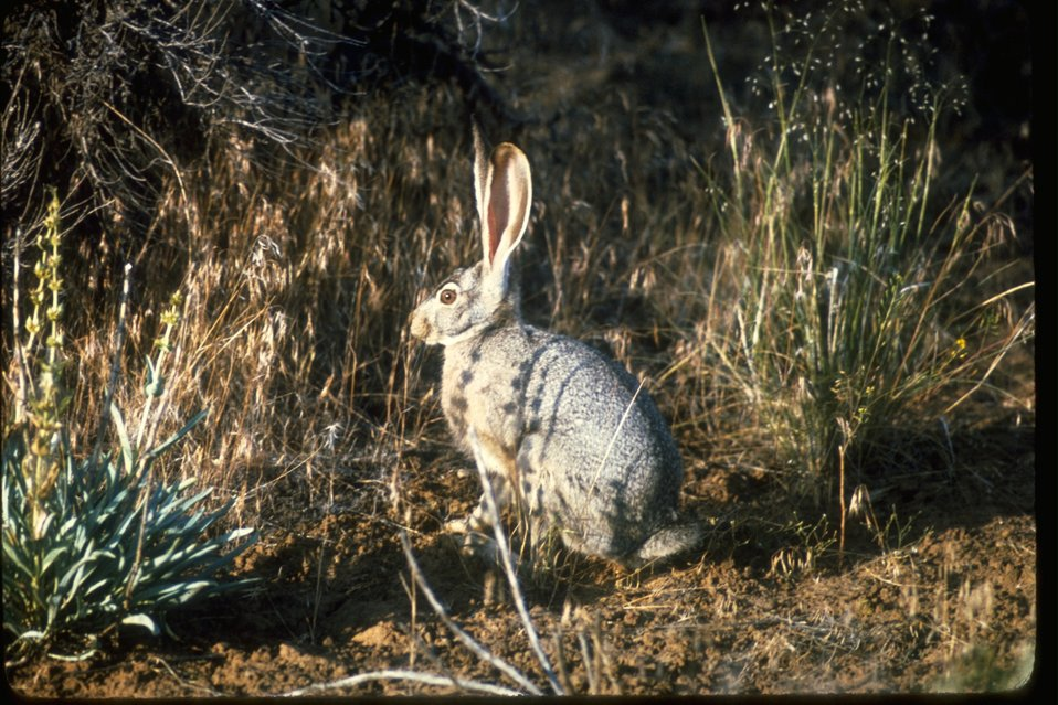 A Jackrabbit standing in dry grass.