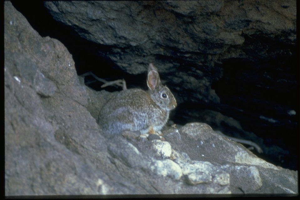A cotton-tail rabbit sitting on a rock near a small stream.
