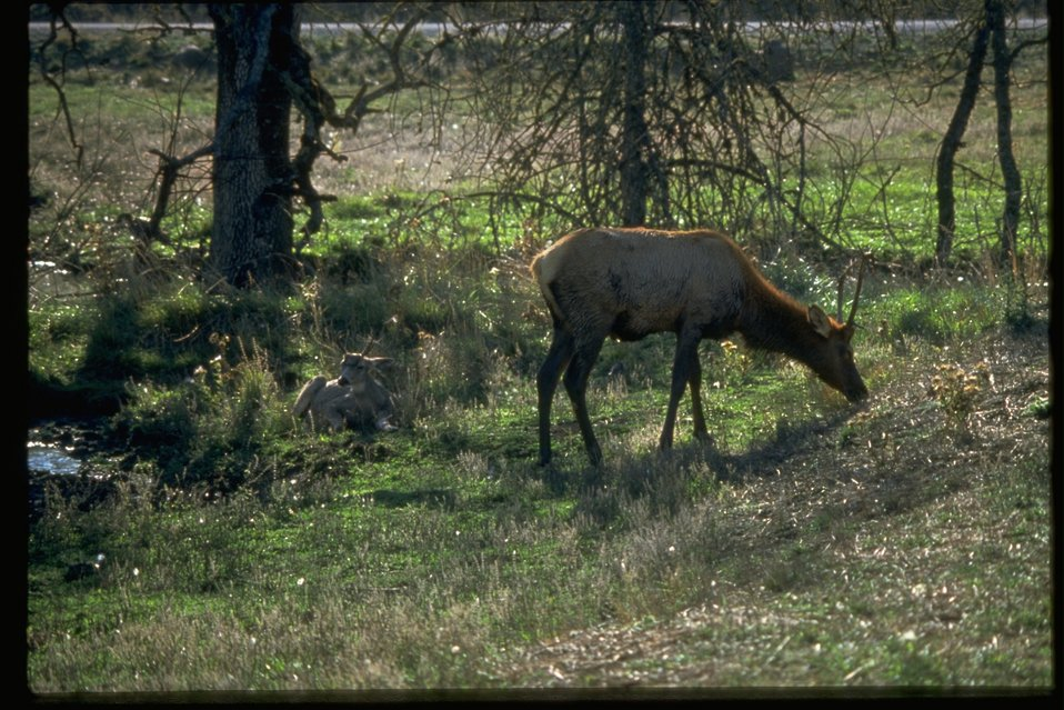 An elk eating grass next to a small creek.